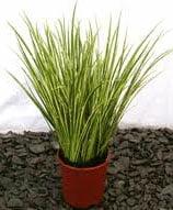 не цветущие комнатные растения аир