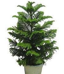 не цветущие комнатные растения араукария