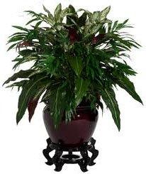 не цветущие комнатные растения аспидистра