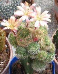 виды комнатных растений кактусы