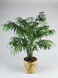 не цветущие комнатные растения хамедорея