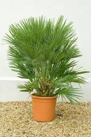 не цветущие комнатные растения хамеропс