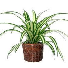 не цветущие комнатные растения хлорофитум