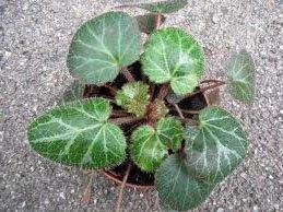 не цветущие комнатные растения камнеломка