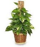 не цветущие комнатные растения сциндапсус