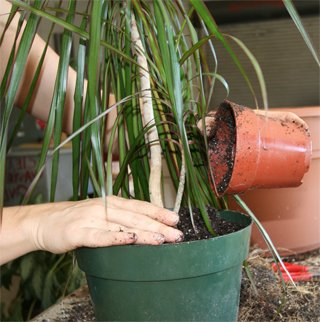 Когда можно пересаживать растения