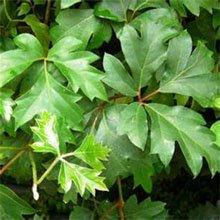 Циссус ромболистный (Cissus rhombifolia)