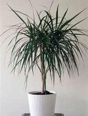 Драцена окаймленная (Dracaena мarginata)
