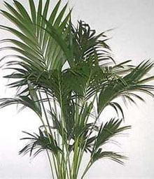 Ховея Бельмора (Howea belmoreana)