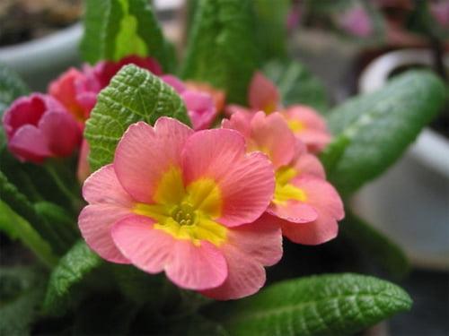 Выбор тенелюбивых комнатных цветущих