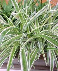 Хлорофитум хохлатый (Сhlorophytum comosum variegatum)