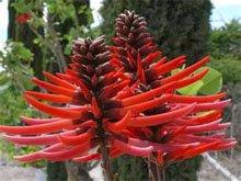Эритрина коралловое дерево (erythrina coralloides)