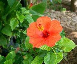 Гибискус китайская роза (Hibiscus rosa sinensis)