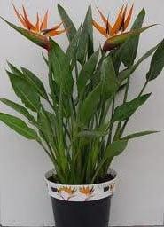 Стрелиция королевская (strelitzia reginaе)