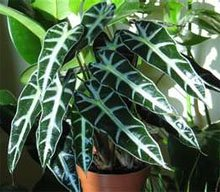 Алоказия амазонская (Alocasia amazonica)