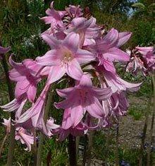 Амариллис красавица (Amaryllis belladonna)
