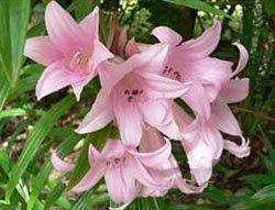 Цветки Амариллиса