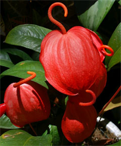 Антуриум виды описание и фото  Комнатные растения и