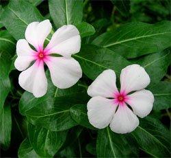 Белые цветки катарантуса