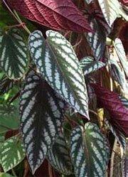 Нежные листья циссуса разноцветного
