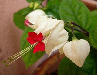 У клеродендрума оригинальные цветки