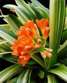 Кливия киноварная (Clivia miniata)