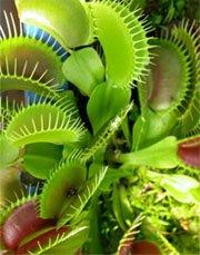 Венерина мухоловка (Dionaea muscipula)