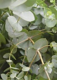 Эвкалипт Ганна (Eucalyptus gunnii)