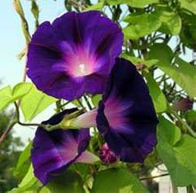 Цветки ипомеи пурпурной
