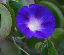 Ипомея трехцветная (Ipomoea tricolor)