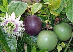 Цветок и плоды Пассифлоры съедобной (Passiflora edulis)