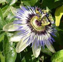 Шикарный цветок Пассифлоры