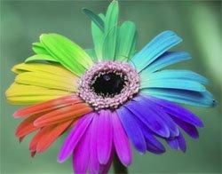 Радужная хризантема