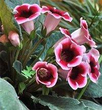Глоксиния прекрасная (Sinningia speciosa)