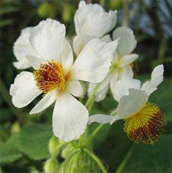 Цветки спарманнии