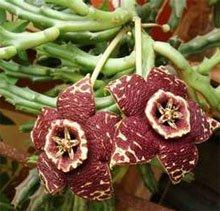 Стапелия пестрая (Stapelia variegata)