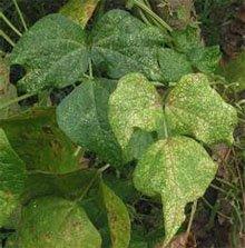Растение, пораженное паутинным клещом