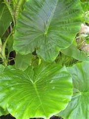 Алоказия крупнокорневищная (Alocasia macrorrhiza)
