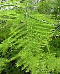 Аспарагус перистый (Asparagus plumosus)
