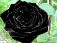 Потрясающая чёрная роза