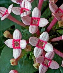 Цветки бувардии