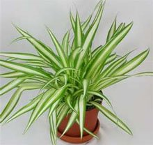Хлорофитум (Chlorophytum variegatum)