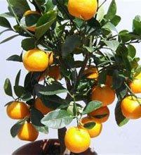 Цитрус нежный (Citrus mitis)
