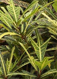 Кротон с лопастными листьями (Codiaeum craigii)