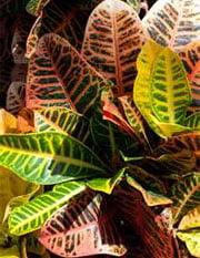 Кодиеум пестрый (Codiaeum variegatum)