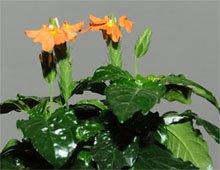 Кроссандра волнистолистная (Crossandra undulifolia)