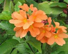Цветки кроссандры