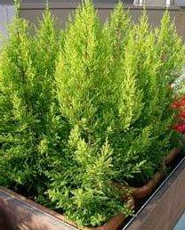 Кипарис крупноплодный (Cupressus macrocarpa)