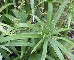 Циперус раскидистый (Сyperus diffusus)