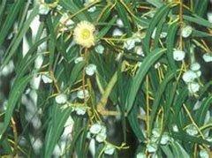 Эвкалипт лимонный (Eucalyptus citriodora)